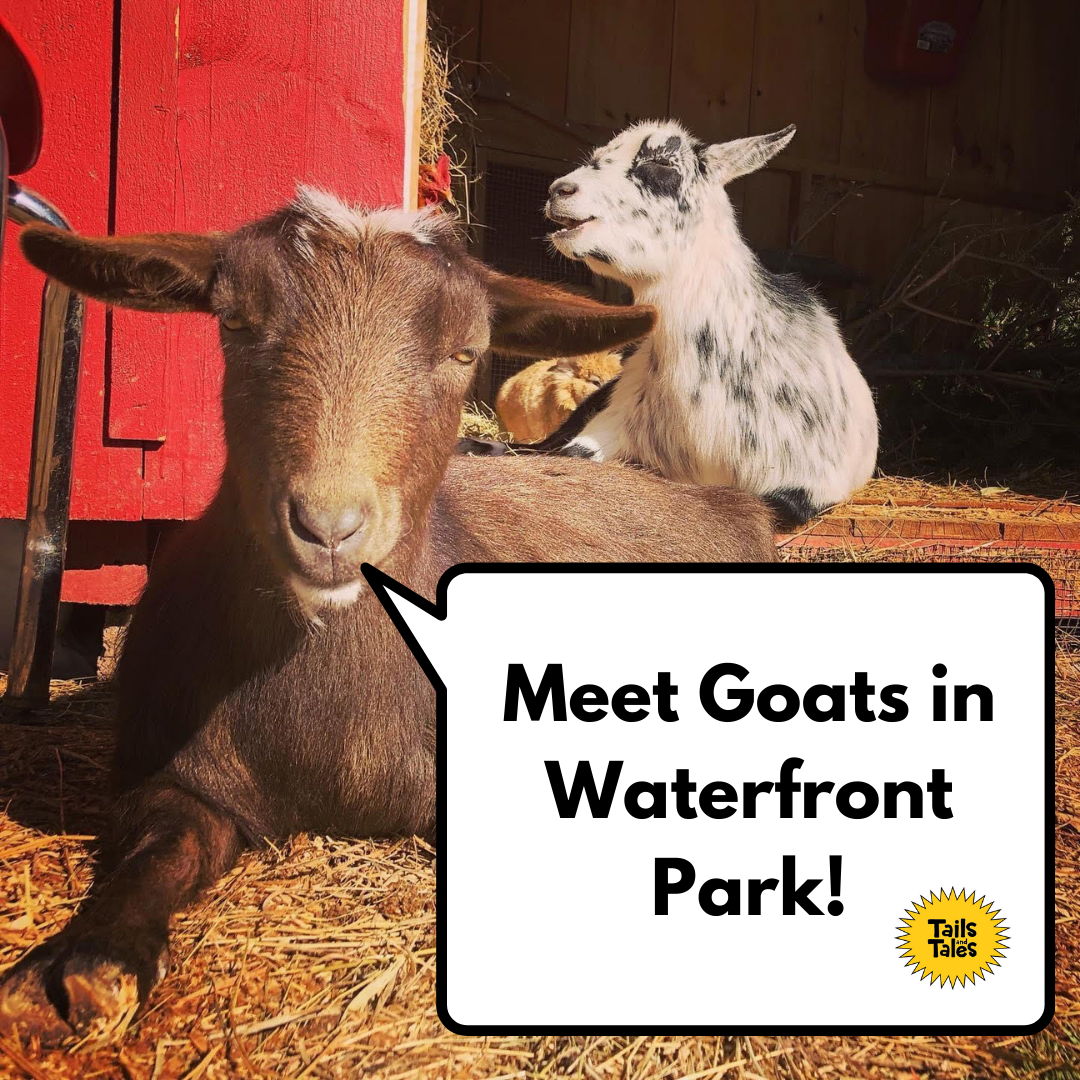 Goat-to-Meeting